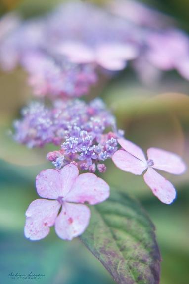 Blume Hortensie©Urs Isert